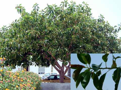 Rbol del caucho ficus el stica jardiner a - Ficus elastica cuidados ...